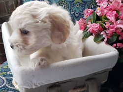 Coton Puppy 6 weeks old