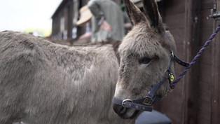 My Fair Donkey