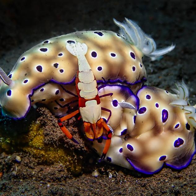 Nudibranchs with Emperor Shrimp
