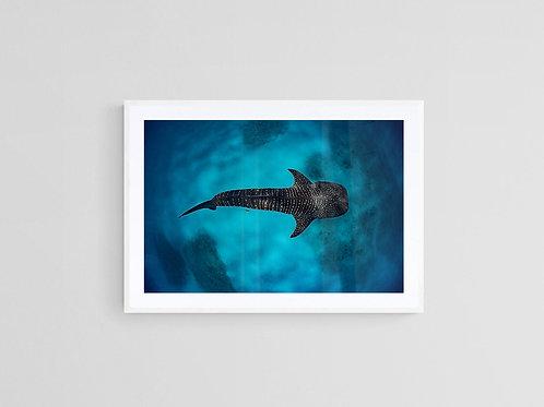 Whale Shark Framed Print