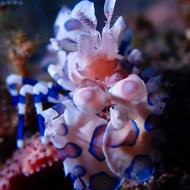 Harlequin Shrimp, Bali