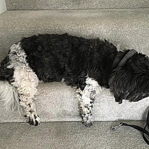 Ollie my Grandog is worn out!