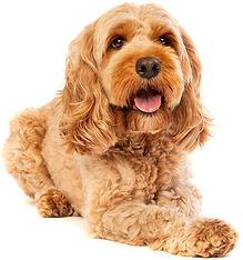 brown%20cockapoo%20dog%20in%20front%20of
