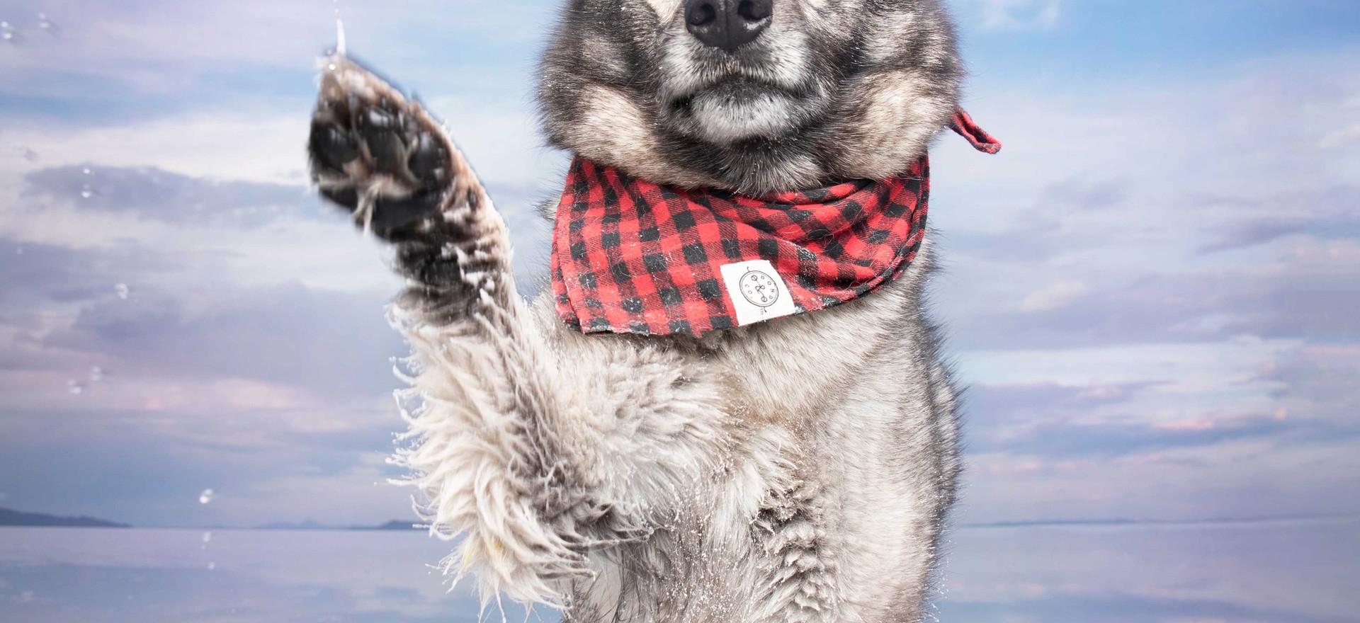norwegianelkhoundsaltflatsutah.jpg