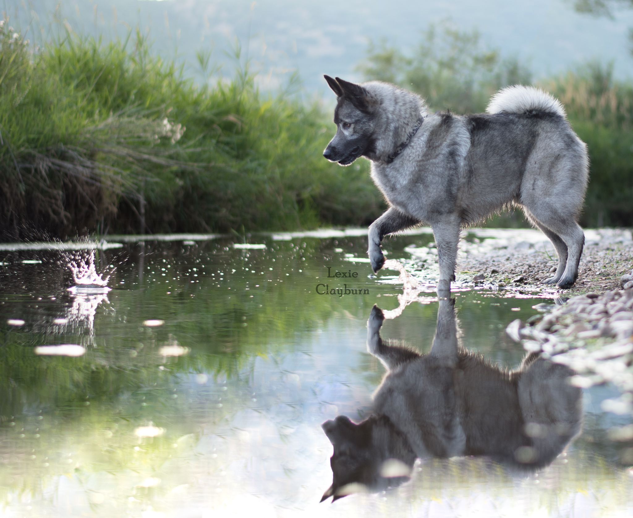 Norwegian elkhound, photography
