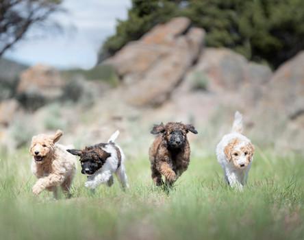 Puppy stampede
