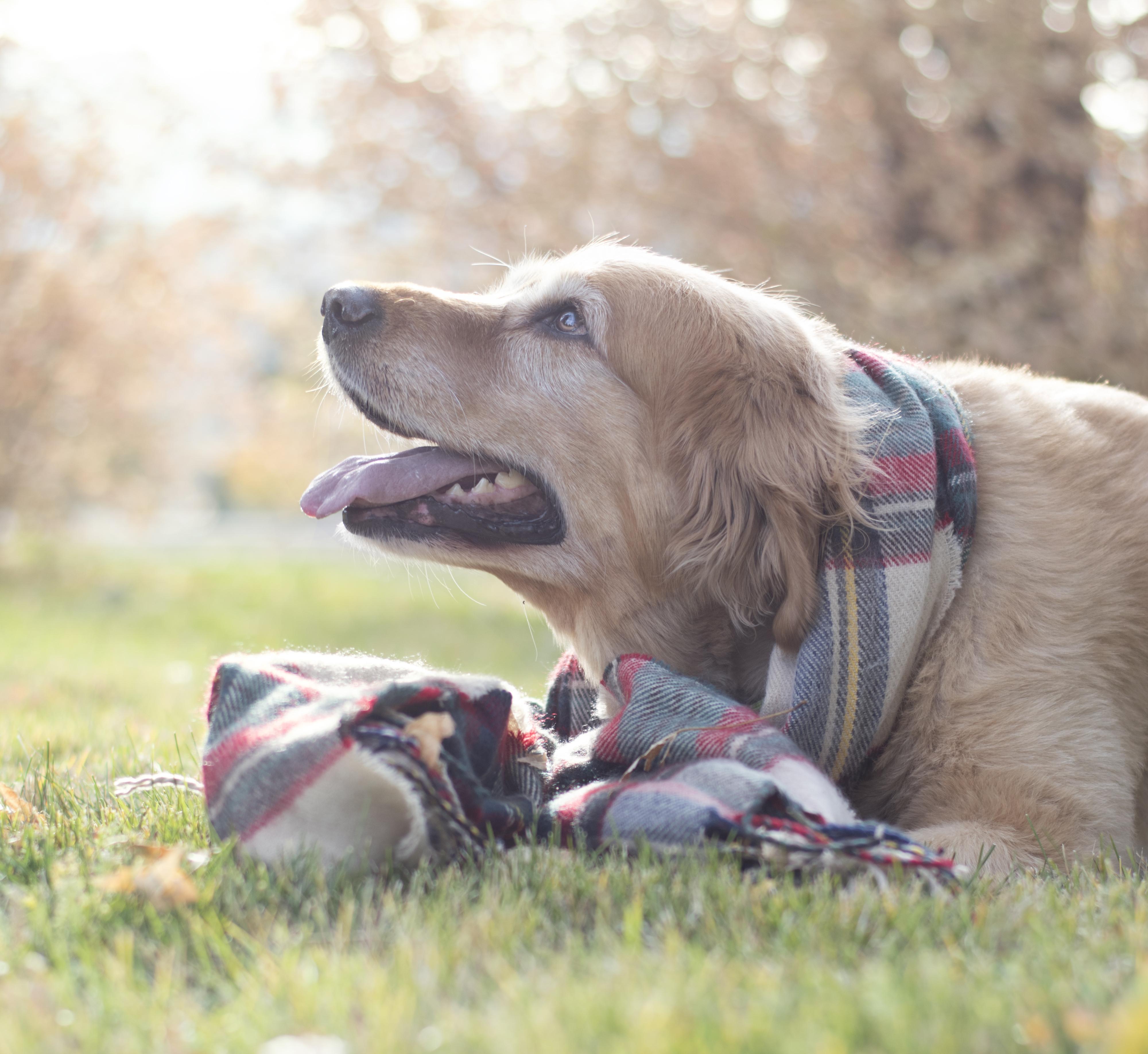 Utah dog photographer, retriever
