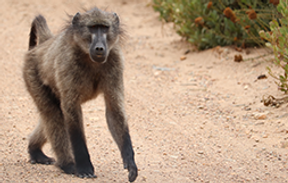 Pringle Bay Baboon