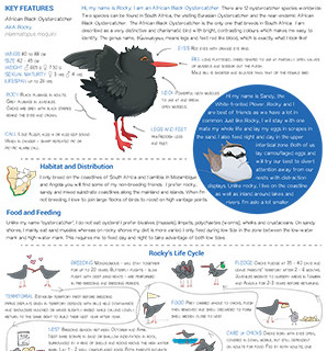 African Black Oystercatcher Fact Sheet
