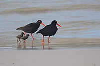 Oystercatcher family on Pringle Bay beach