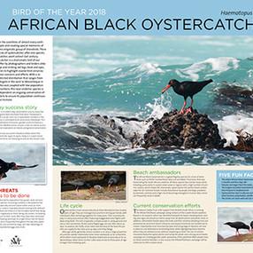 Black Oystercatcher information poster