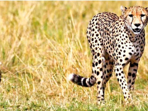 TN conservationists express reservationover cheetah translocation