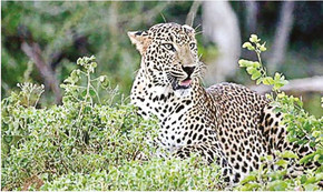 Roaring destination for big cats, TN 4th among states in leopard count