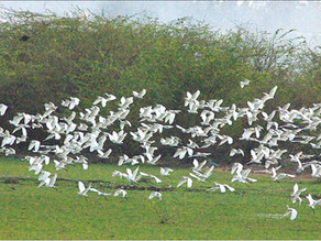 Green revolution's side-effect: Birds hit bychemical deposition near sanctuaries