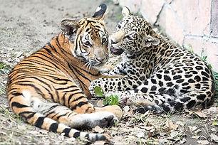 tiger_and_jaguar_cub1.0.jpg