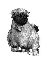 Mouton au nez noir du Valais