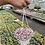 Thumbnail: Calissia Pink Lady Hanging Basket