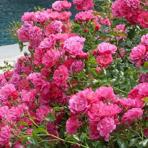 Flowering Carpet Rose Bushes