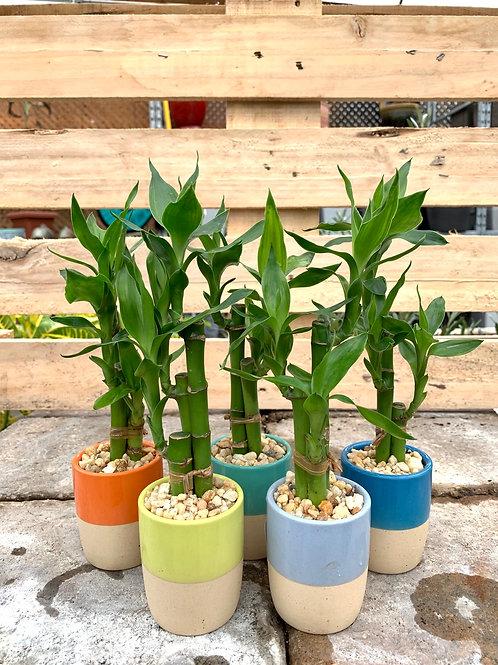"""1"""" Dracaena Mini Lucky Bamboo Set"""
