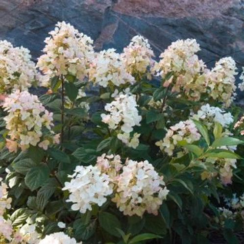 Hydrangea Paniculata 'HYPMAD II' Tickled Pink