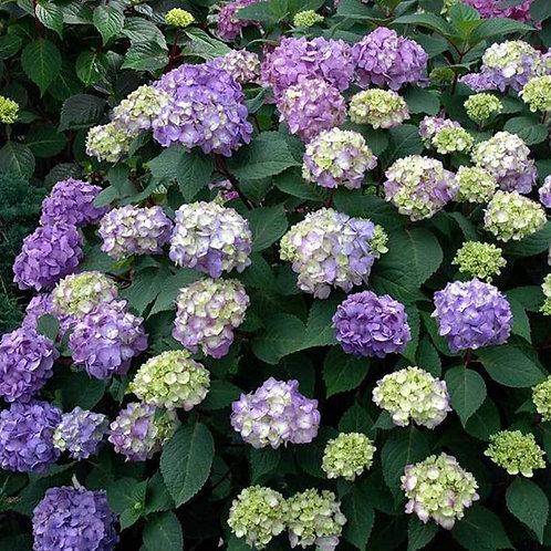 Hydrangea BloomStruck Endless Summer