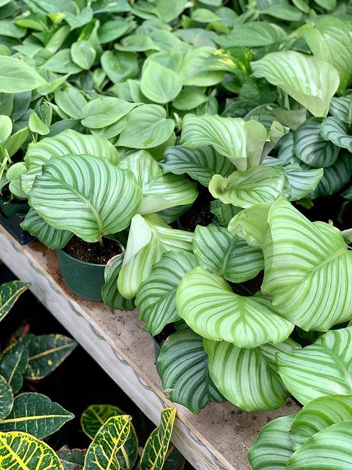 Calathea 'Orbifolia'
