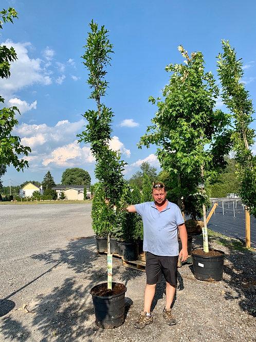 Green Pillar Oak