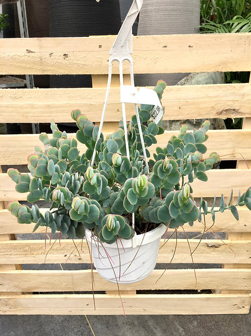 Kalanchoe 'Marnieriana' Hanging Basket