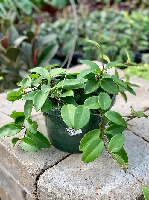 Hoya Carnosa 'Green Jade' Hanging Basket