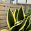 Thumbnail: Sansevieria 'Black Gold Superba'