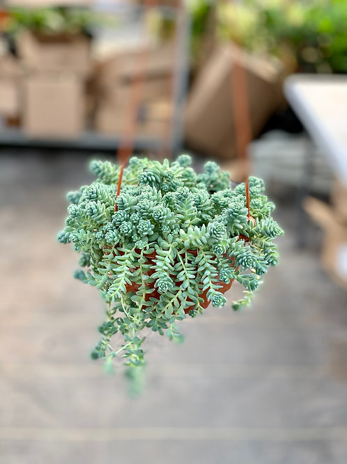 Sedum Dasphyllum Major Hanging Basket