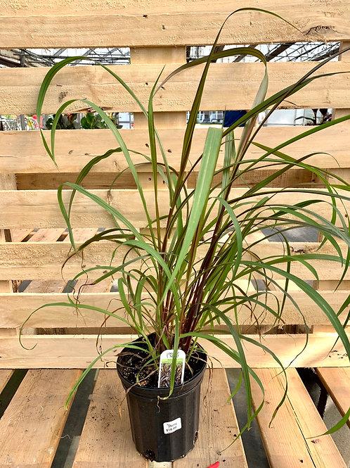 Pennisetum Regal Princess Grass