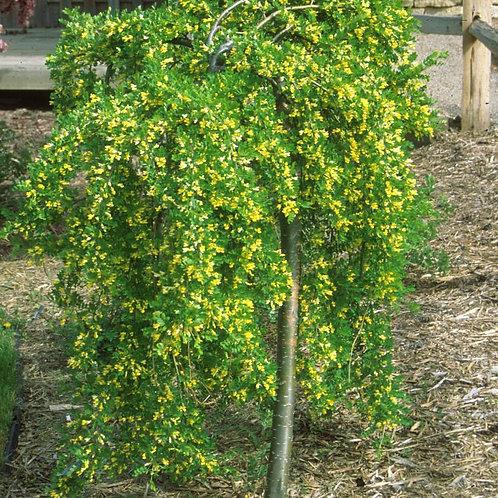 Caragana arborescens 'Pendula' Weeping Peashrub