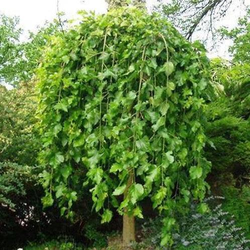 Morus alba 'Pendula' (Fruitless) Weeping Mulberry