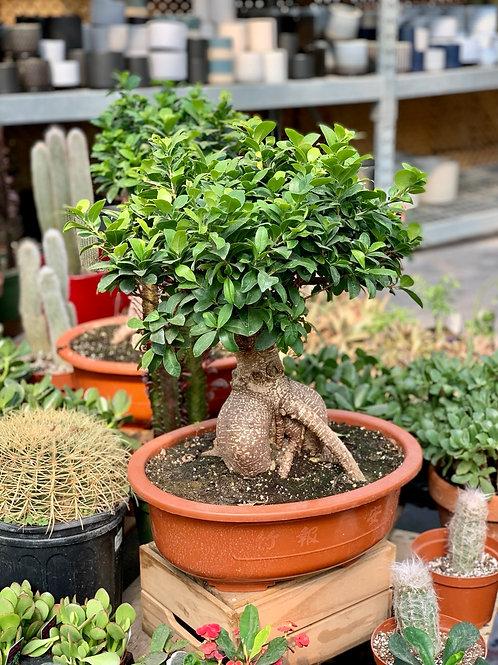 "15"" 3000g Ficus Retusa Bonsai Tree"