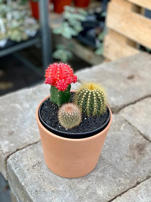 """5"""" Cacti Garden in Clay Pot"""