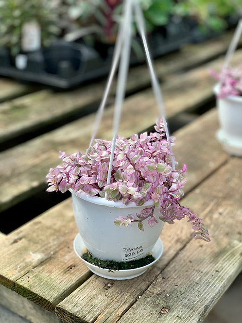 Calissia Pink Lady Hanging Basket