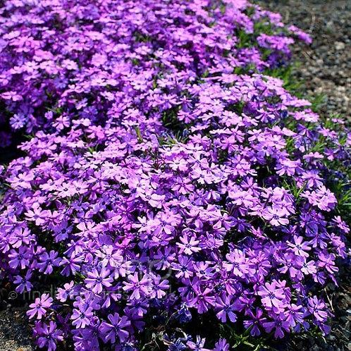 Phlox 'Purple Beauty'