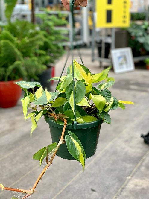 Philodendron 'Brazil' Hanging Basket