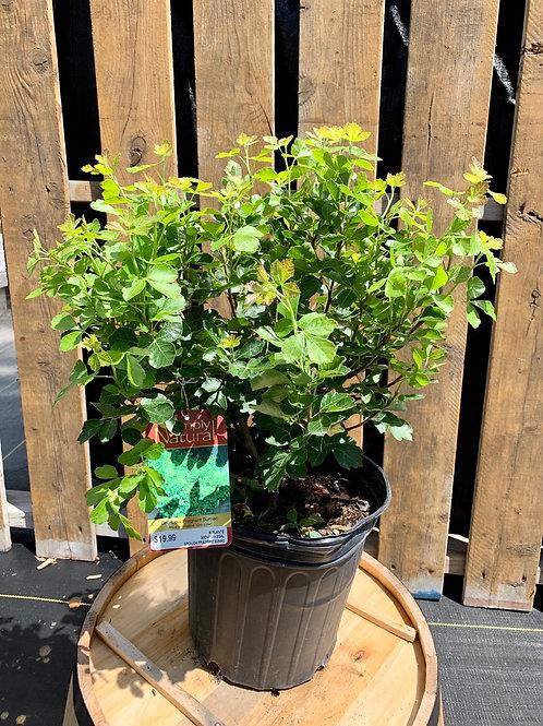 Grow-Low Fragrant Sumac