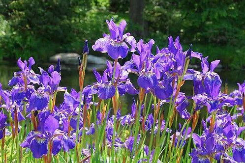 Iris siberica 'Caesar's Brother'