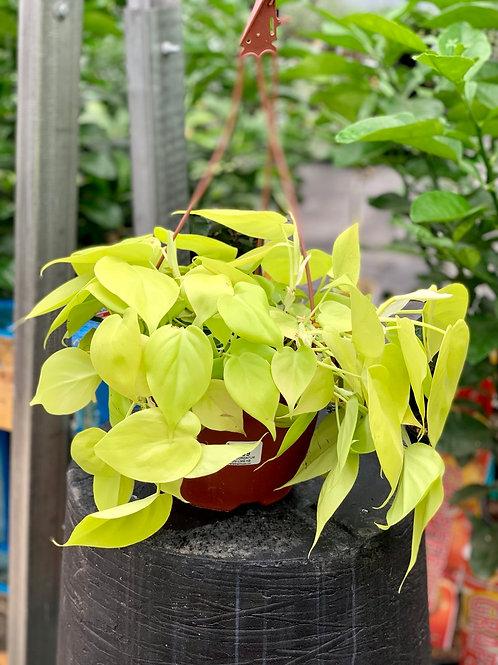 Philodendron Cordatum Lemon Lime Hanging Basket