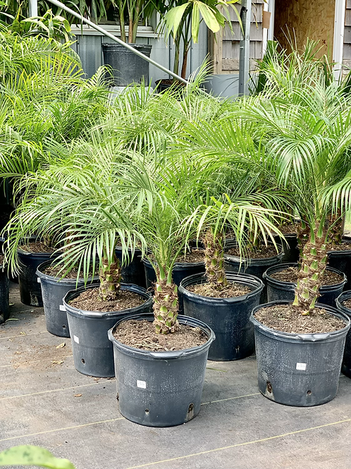 Phoenix Roebelenii Palm