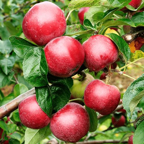 Malus domestica 'Spartan' Apple Tree