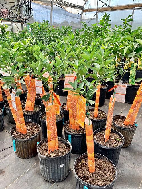 5 Gallon Orange Tree