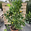 Thumbnail: Calamondin Orange Bush