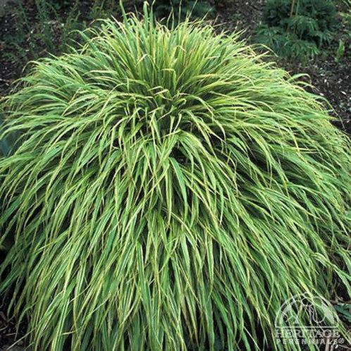 Hakonechloa macra 'Albo-Striata' Hakone Grass