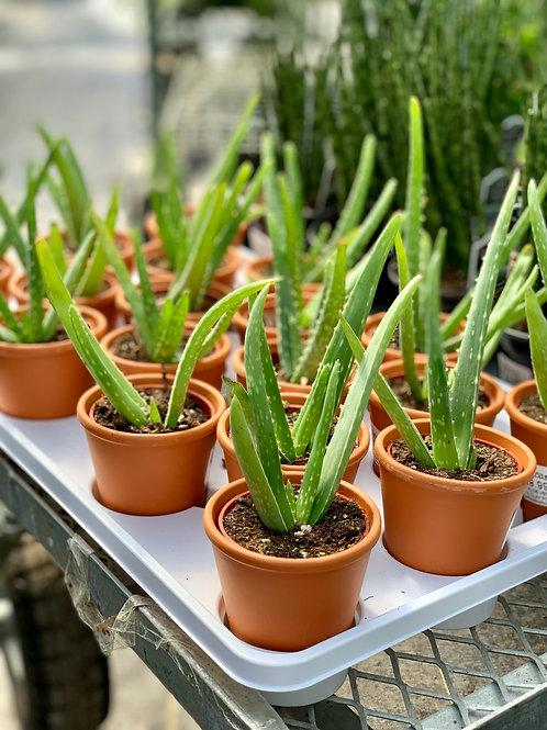 Aloe Vera, Clay Pot