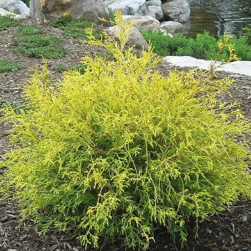 Chamaecyparis pisifera 'Golden Mops'