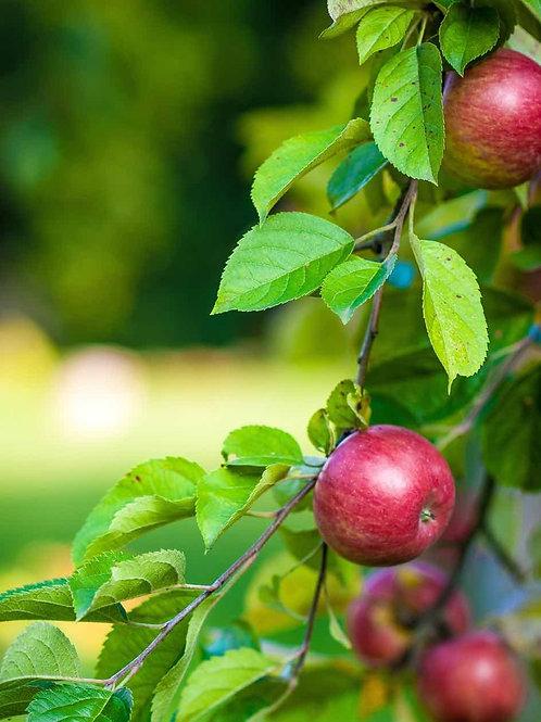 Malus domestica 'Macoun' Apple Tree